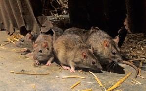 rat_2371638b